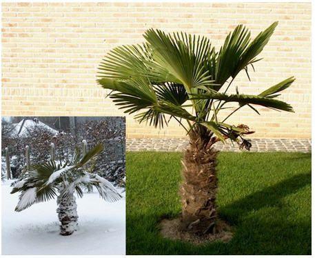 продавам семена от студоустоичиви палми - 6 вида