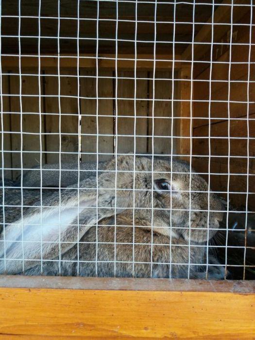 Vând diferite rase de iepuri pui si maturi deparazitati si vaccinati d