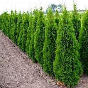 Producator de tuia 2 - 3m / smaragd si columnaris