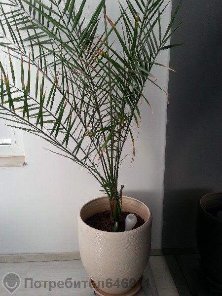 Декоративна финкова палма (16 годишна)