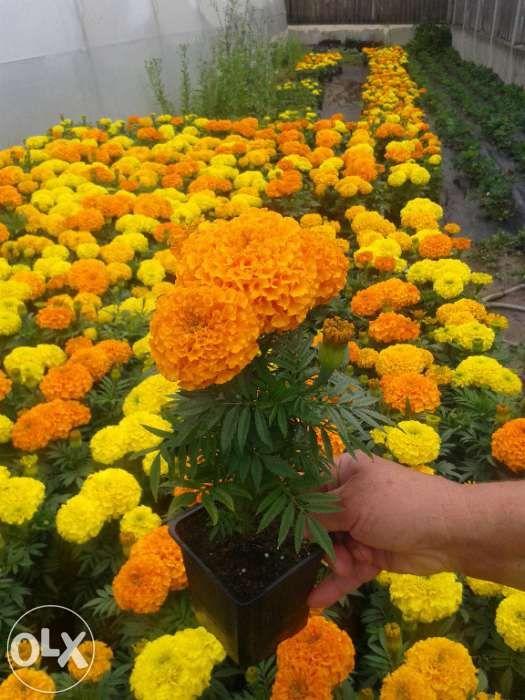 Craite floare mare