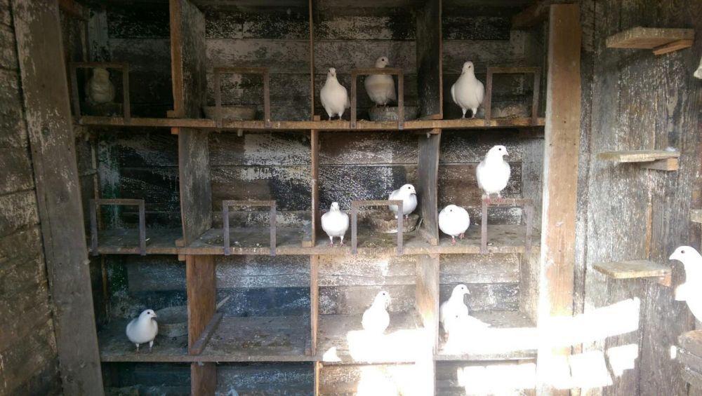 Vand porumbei albi