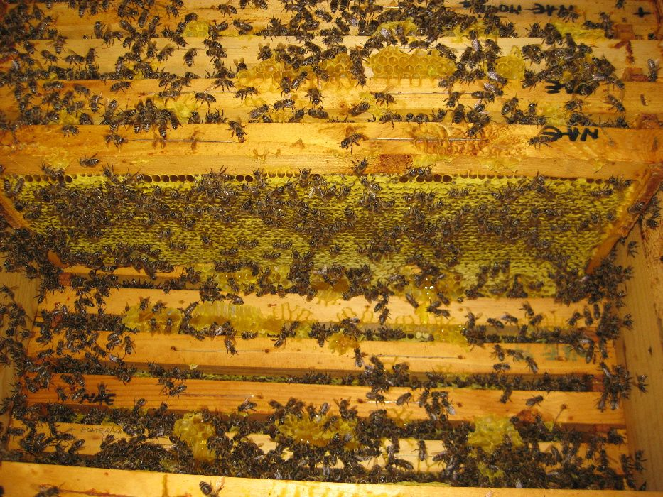 Vand roiuri de albine dupa salcam 2019