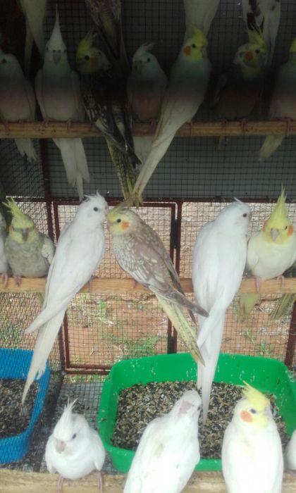 Caturra/ cockatiel Brancos