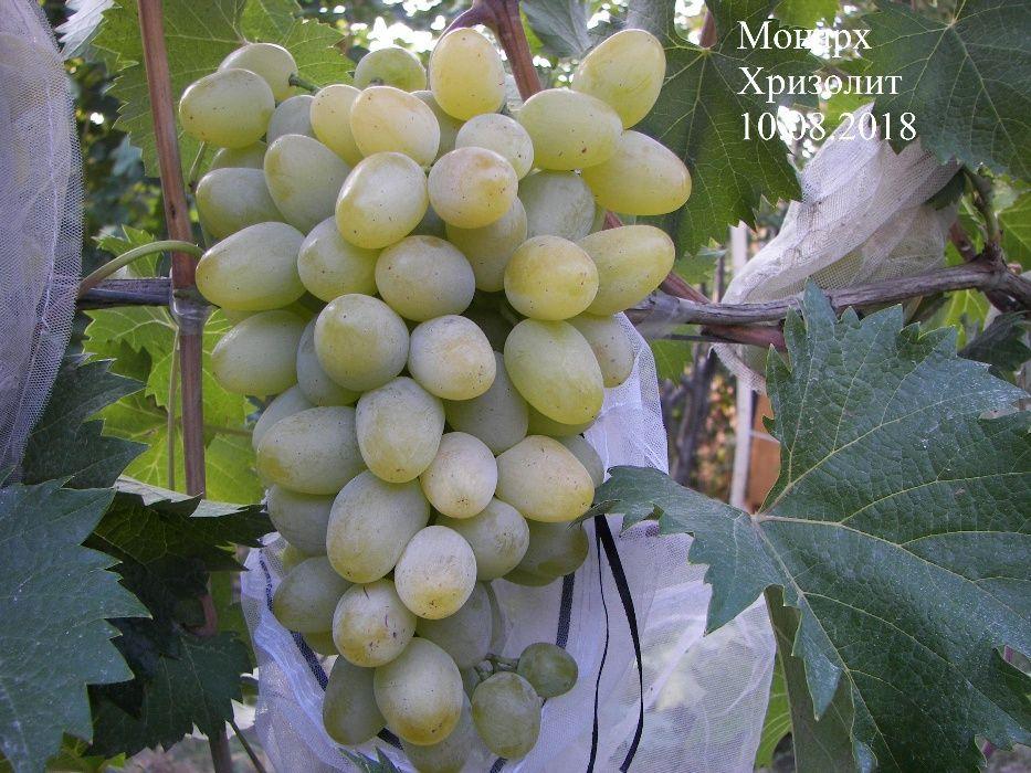 Виноград саженцы и черенки сорт Монарх (Хризолит)