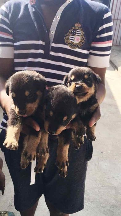 Rottweilers!!!