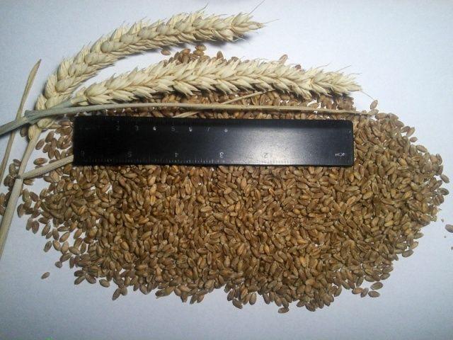 Семена ЯРОВОЙ пшеницы Канадская элита, Пшеница твердая Озимая и Яровая