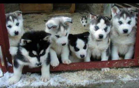 Cães de raças avenda
