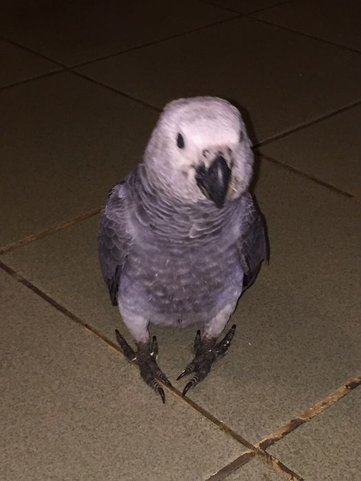 Papagaio Kilamba - imagem 3