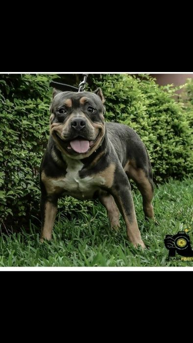 American bully tri color macho a venda