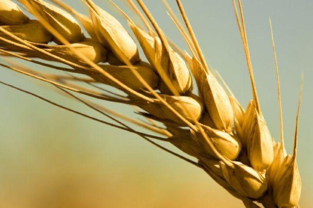 Семена пшеницы ЯРОВОЙ Канада,высокие урожаи 18 тонн, твердый сорт
