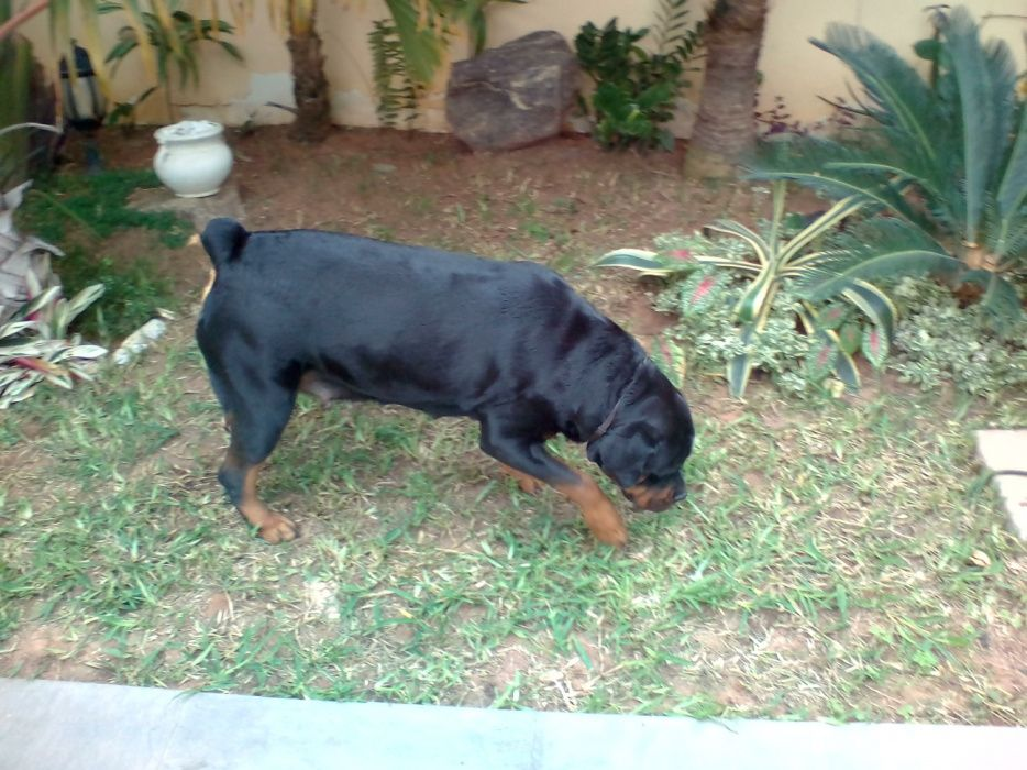 Cachorros de Rot pura raza