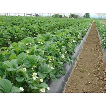 oferta Stoloni capsuni Romanesti plante capsuni Vibrant zmeur fara tep