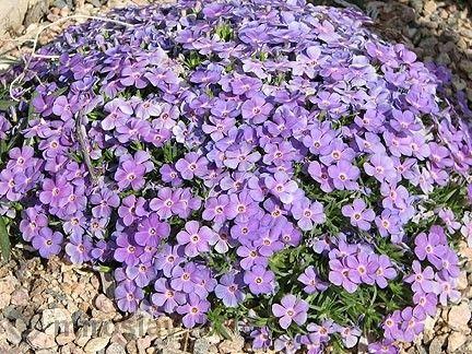Флокс Многогодишно каскадно цвете гр. Павликени - image 2