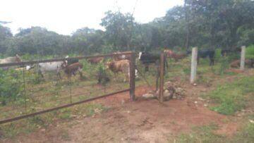 Vende-se uma Fazenda com 450 cabeças de gado bovino na Kibala