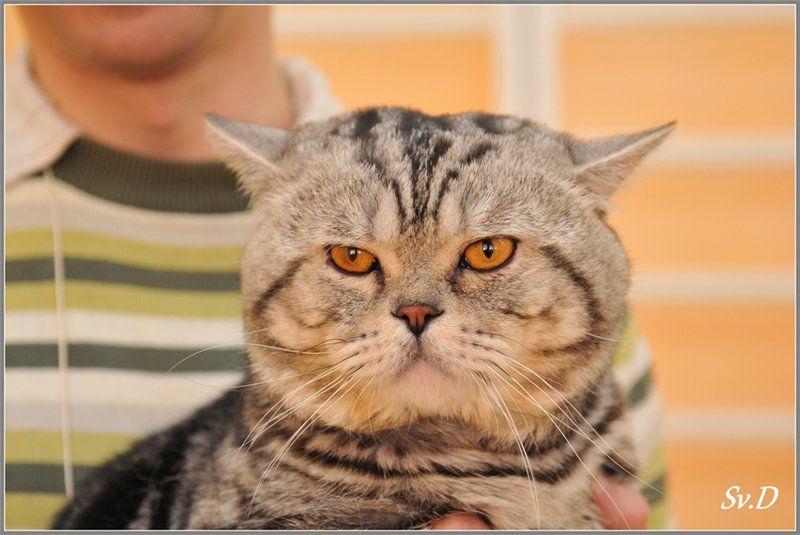 Британские коты на вязу.