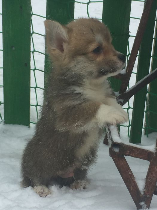 вельш корги пемброк щенки Караганда - изображение 8