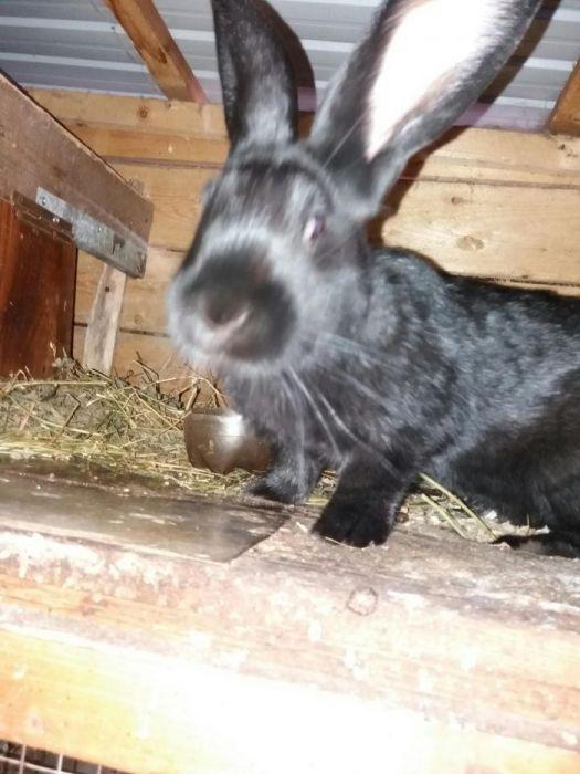 Vând iepuri urias negru 11 -12kg