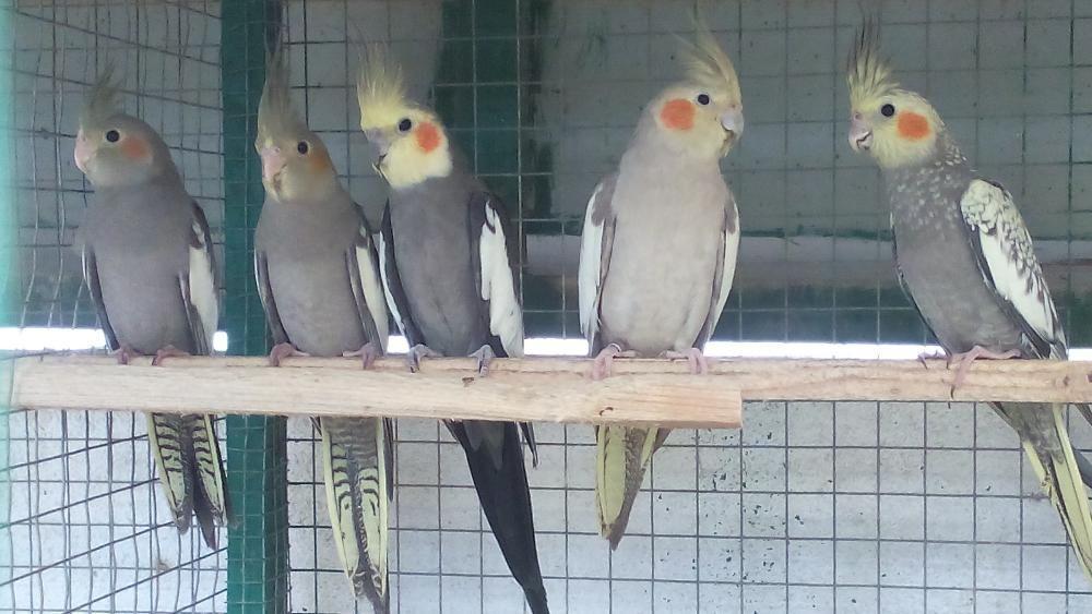 Caturra, papagaio, pastor alemao, periquitos