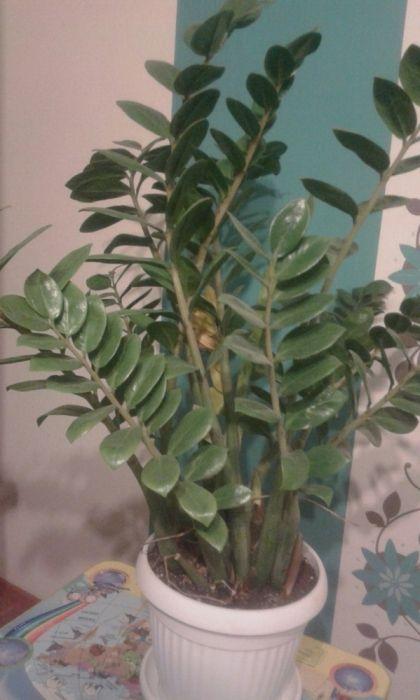 Продам Замиокулькас (долларовое дерево )