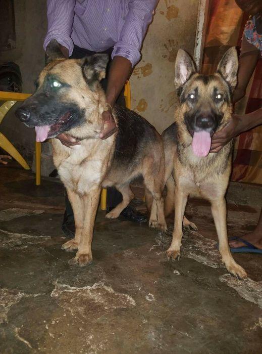 Cães da raça Pastor alemão bons e barato