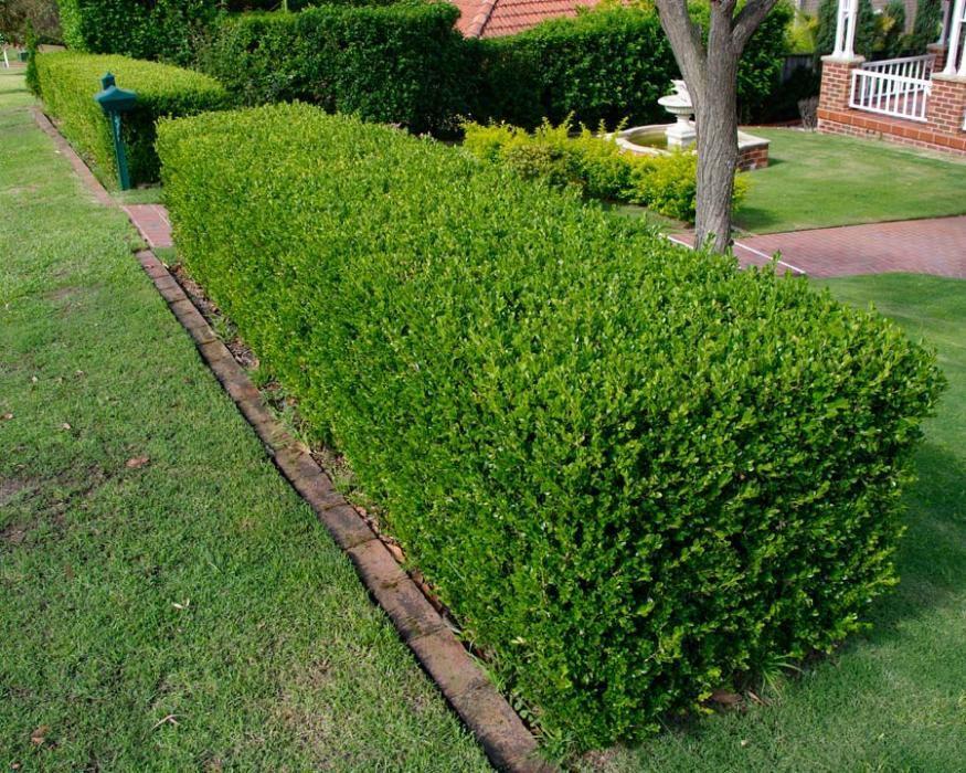PRODUCATOR Arbusti Buxus sempervirens,ligustrum,Tuia, plante Gard Viu