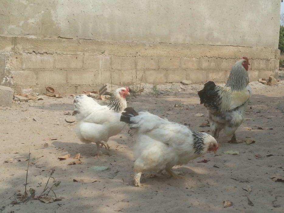 Casal de galinhas da raça brahama light