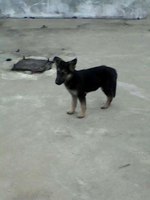 vende se lindo cachorros pastor alemão aproveit