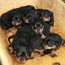 Rottweiler a venda Viana - imagem 1
