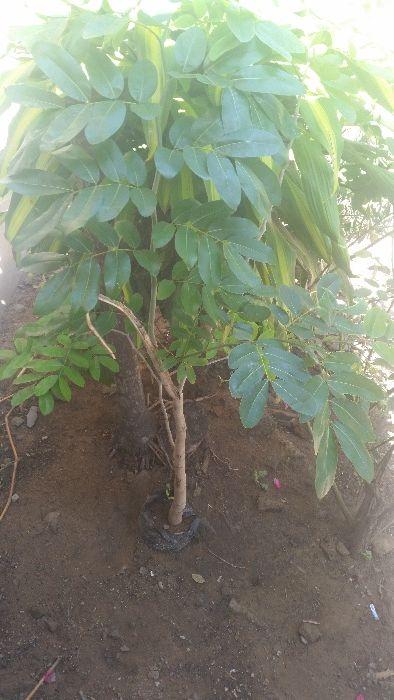 Vendo planta da fruta lichia