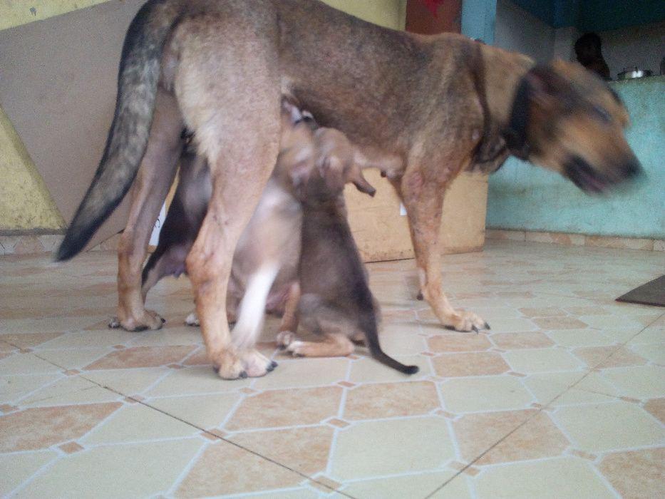 Filhotes cães de raça grande porte