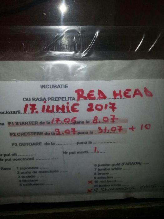Pui de prepelițe RED HEAD Mogosesti - imagine 1