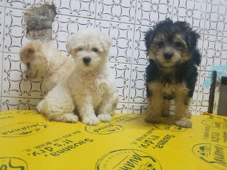 Cães caniches já com 2 meses