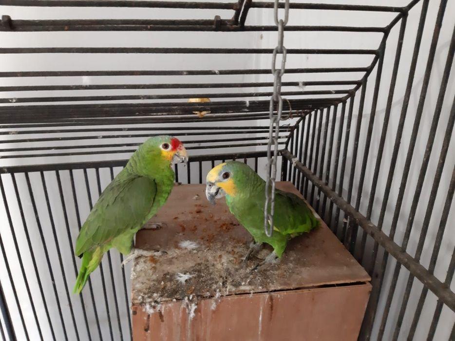 Papagaio Amazônia femia