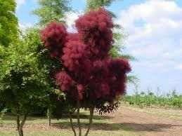 Arbori exotici cu puf,h70 cm ,la ghiveci °°°