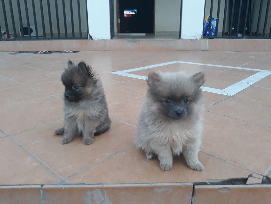um casal de cachorros de 2 meses Cidade de Matola - imagem 2