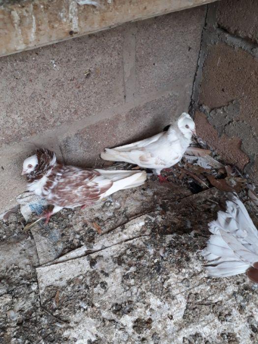 Casal de pombos capucho