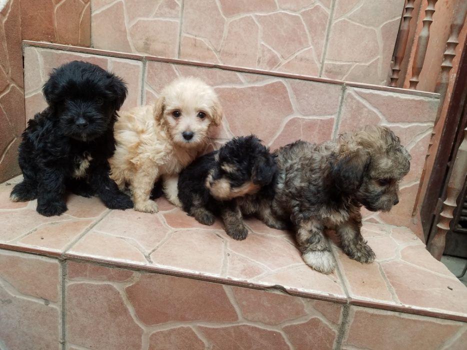 Lindas crias de caniches(poodle)