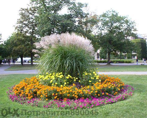 Кортадерия - пампаска трева