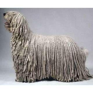Продается редкая порода собак - Комондор