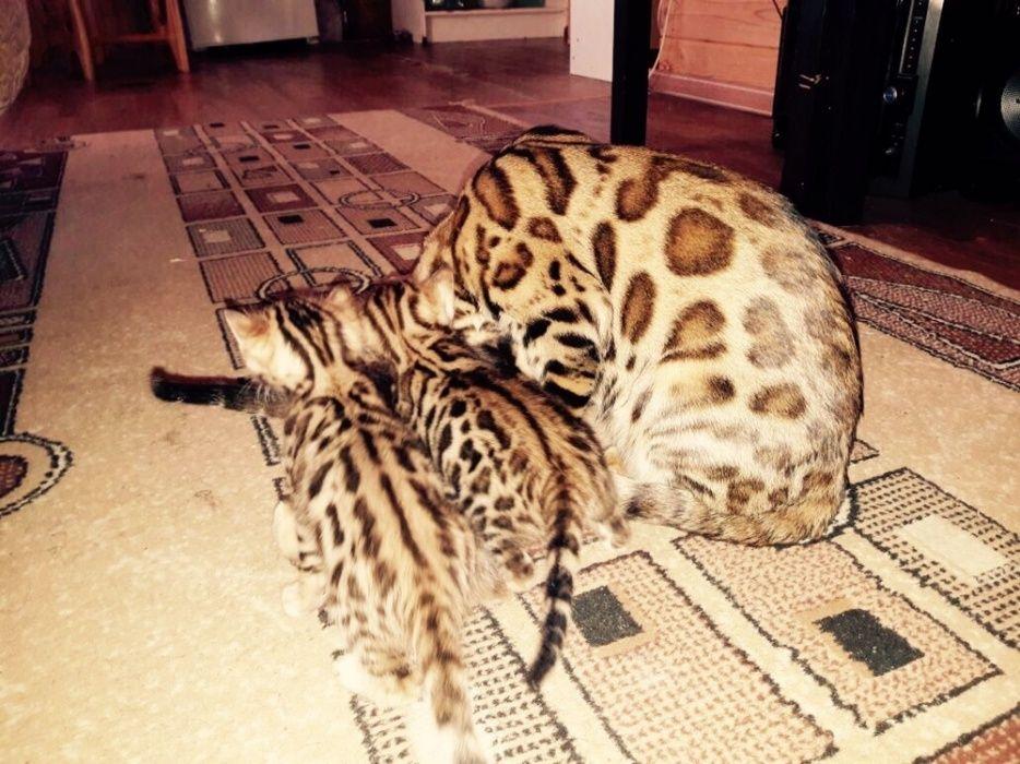 Бенгальские котята!