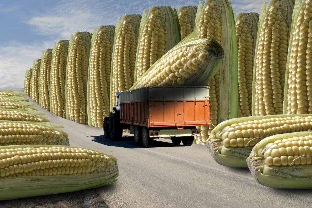 Семена кукурузы Канадский трансгенный гибрид кукурузы