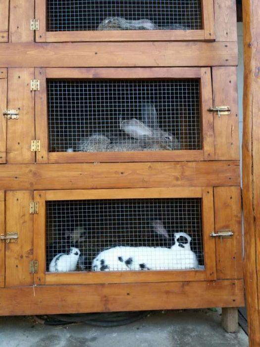 Vând iepuri pui