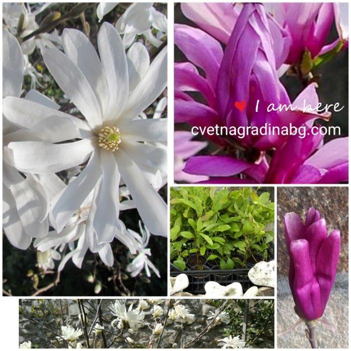 Магнолия Suzan -циклама-пролетно вълшебство и Stellata - бяла кралица