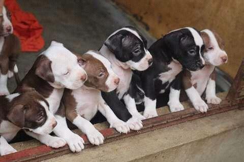 Crias de cães de raça