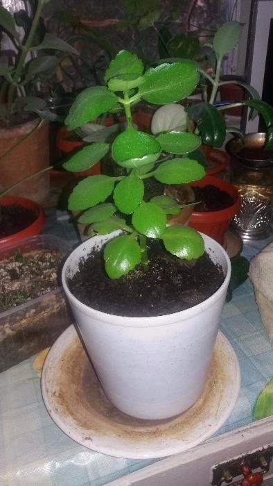 Продам НЕ ДОРОГО комнатные цветы: кактусы, фиалки, денежные деревья..