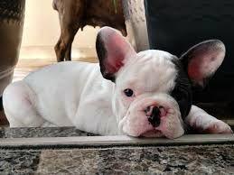 Bulldogs françês a venda