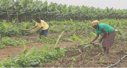 Vende-se hectares para produção agrícola na Açucareira