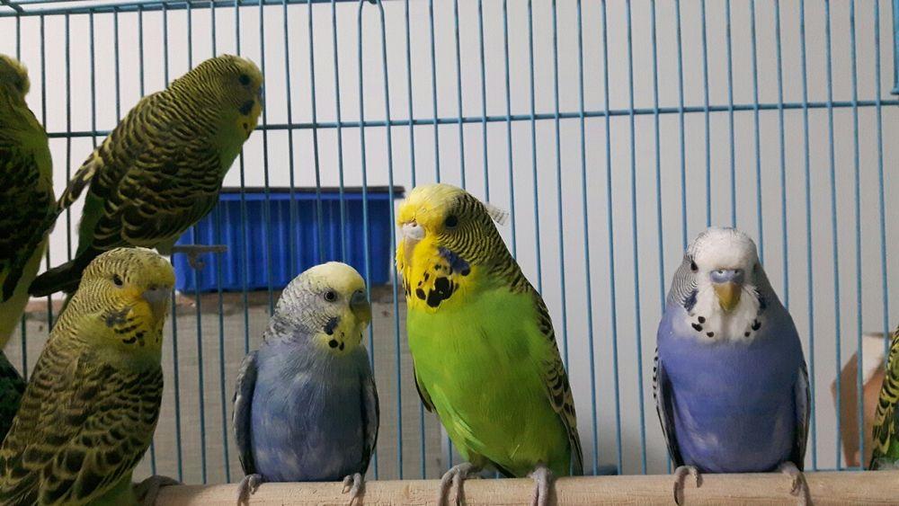 Vand papagali perusi diverse culori
