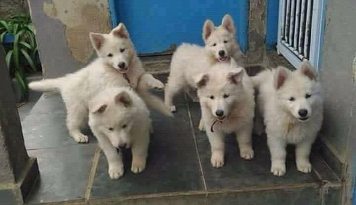 Cães de raça a venda